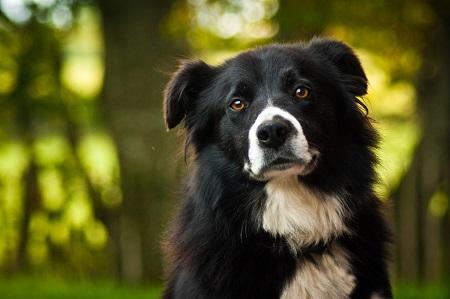 体重 14~20Kg 原産国 イングランド、スコットランドの境 寿命12~15歳. 世界中に存在する全犬種