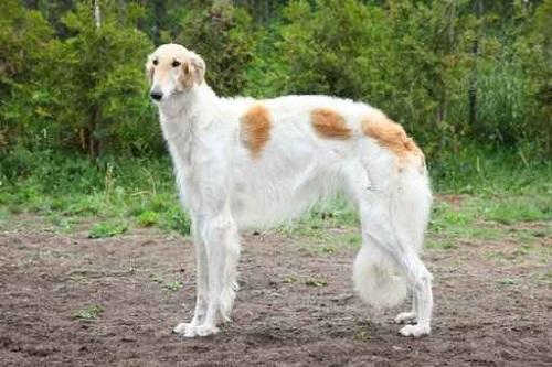 Russian borzoi dog standing