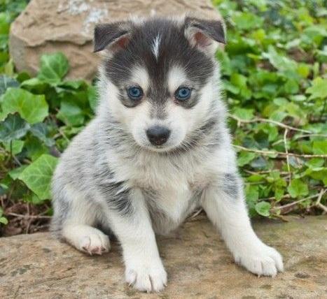 ポンスキーは主にアメリカで人気の犬。
