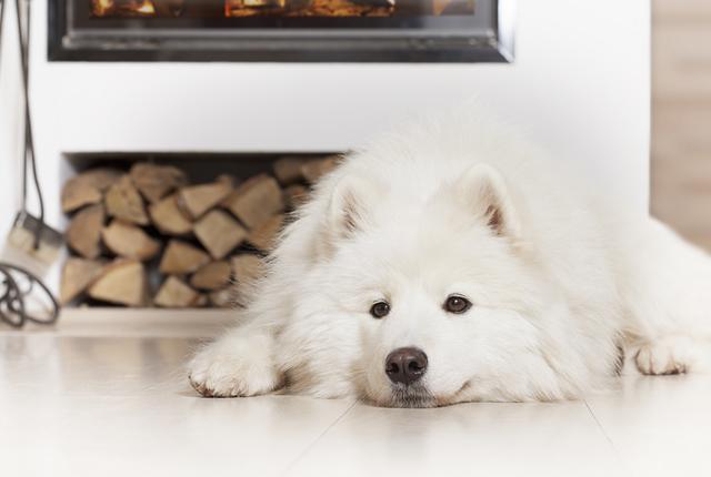 Samoyed dog  by fireplace