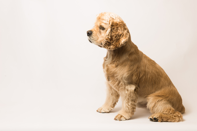 American cocker spaniel on white background
