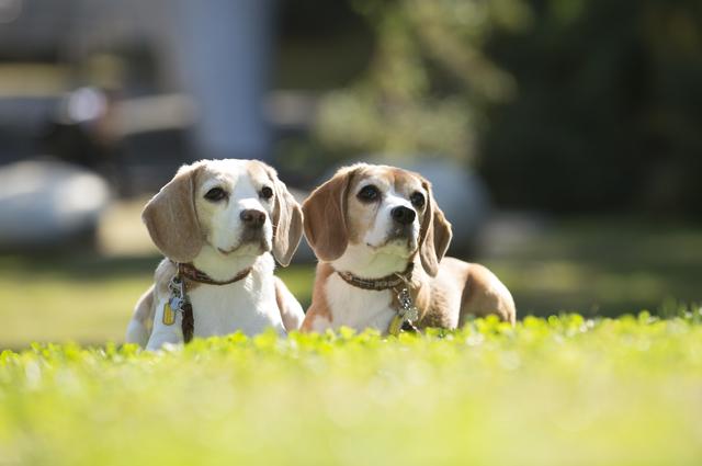beagle003