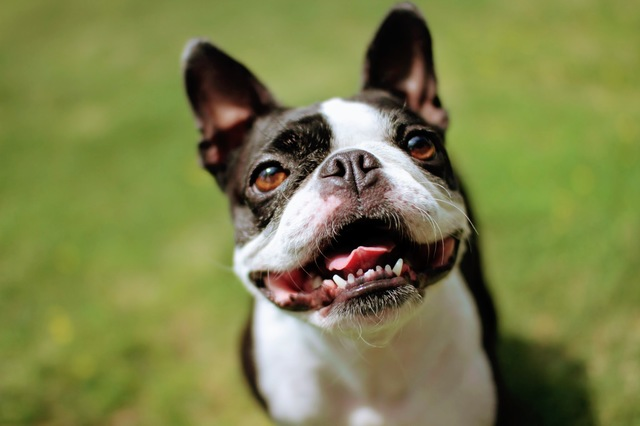 boston-terrier001