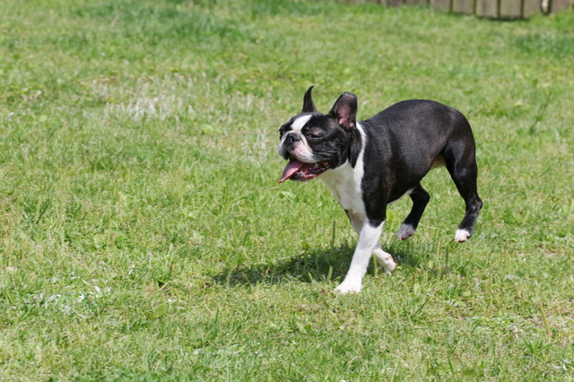 boston-terrier002