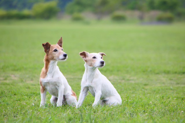 jack-russell-terrier002