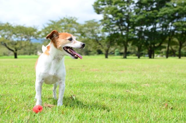 jack-russell-terrier006