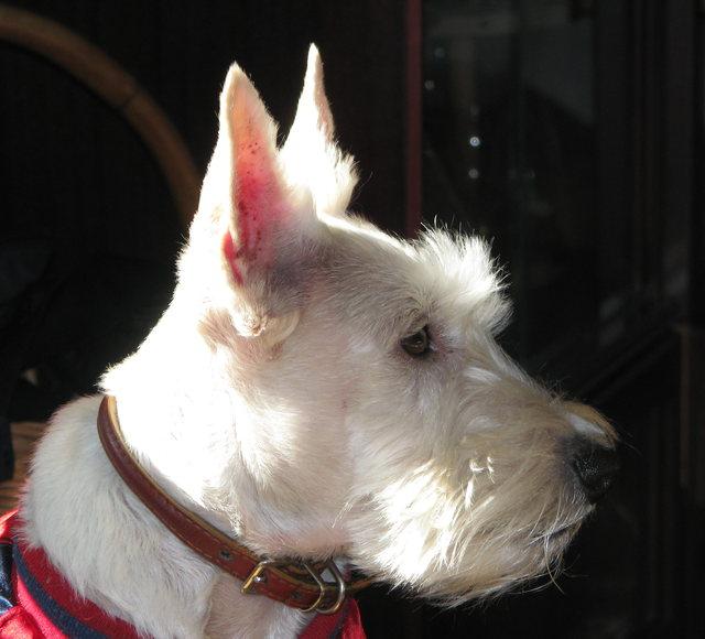 scottish-terrier001