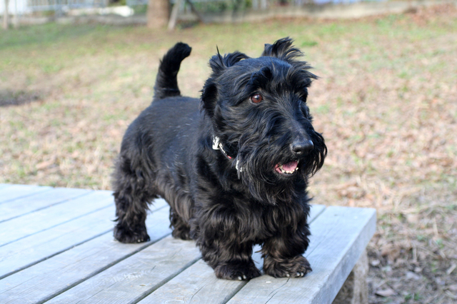 scottish-terrier002