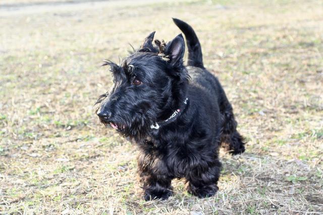scottish-terrier003