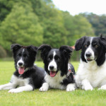 border-collie002