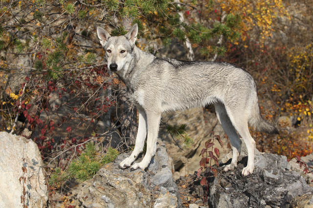 Saarloos Wolhound stanting on rocks in front of colorful autumn bushes