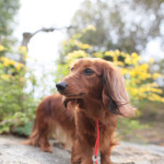 dachshund004