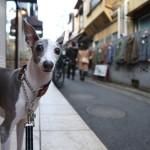italian-greyhound001