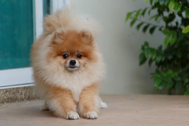 fluffy brown pomeranian cute dog small pet friendly