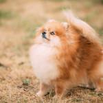 Red Pomeranian Spitz  Small Dog