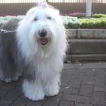 old-english-sheepdog001