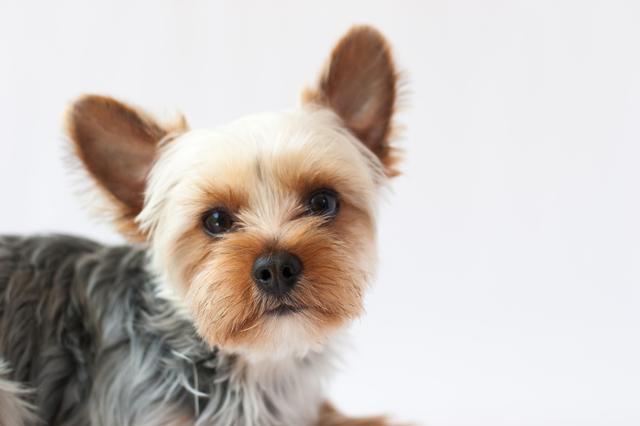 yorkshire-terrier001