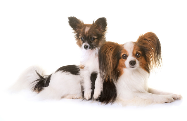 puppy and adult pappillon dog