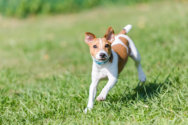 parson-russell-terrier002