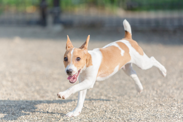 parson-russell-terrier003