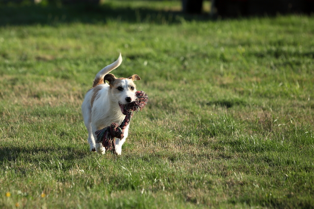parson-russell-terrier004