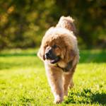 Tibetan Mastiff puppy