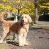 ゴールデンドゥードルってどんな犬種?性格としつけ方法。購入はブリーダーから!