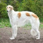 Russian borzoi dog standing