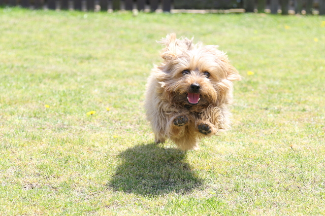 norfolk-terrier001