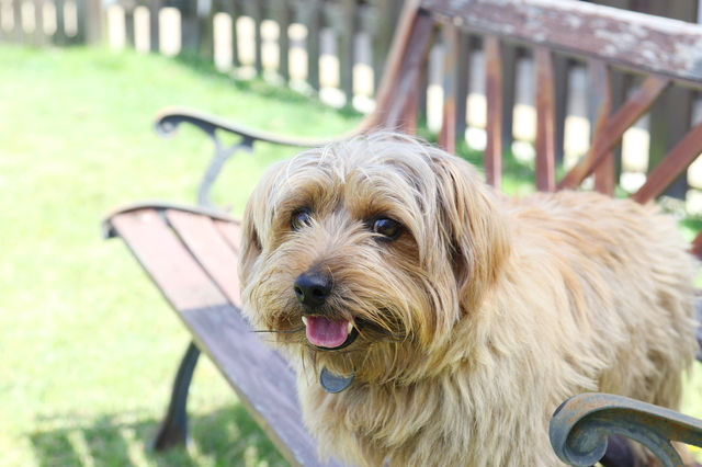 norfolk-terrier002
