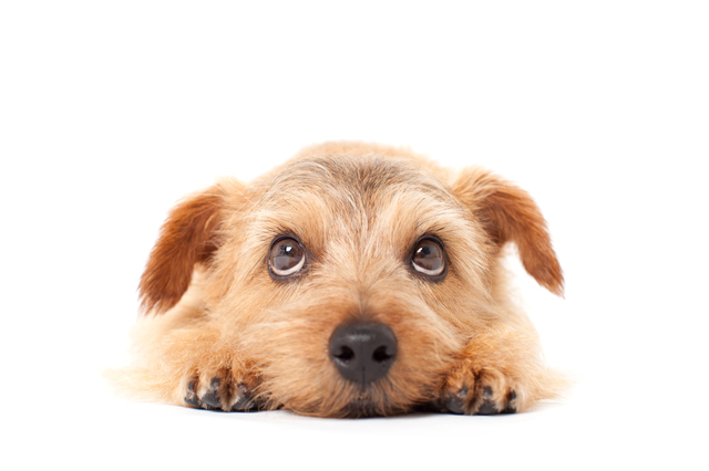 norfolk-terrier003