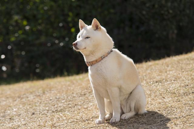 shiba-hair-coat001