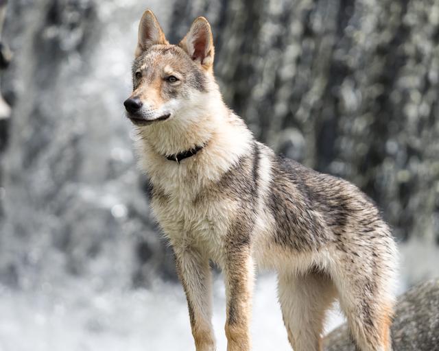 wolf-dog-2001