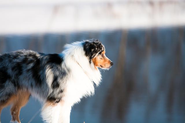 australian-shepherd004