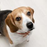 beagle002