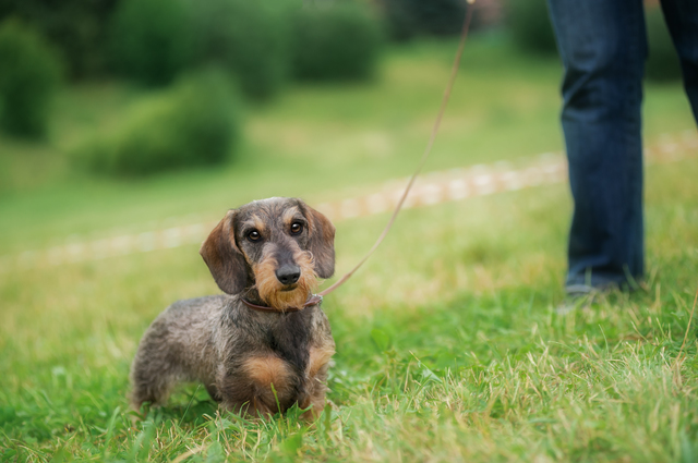 Wire haired dachshund dog