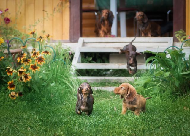 beautiful dachshund puppy dog with sad eyes portrait
