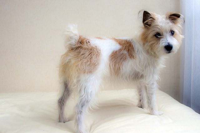 jack-russell-terrier004