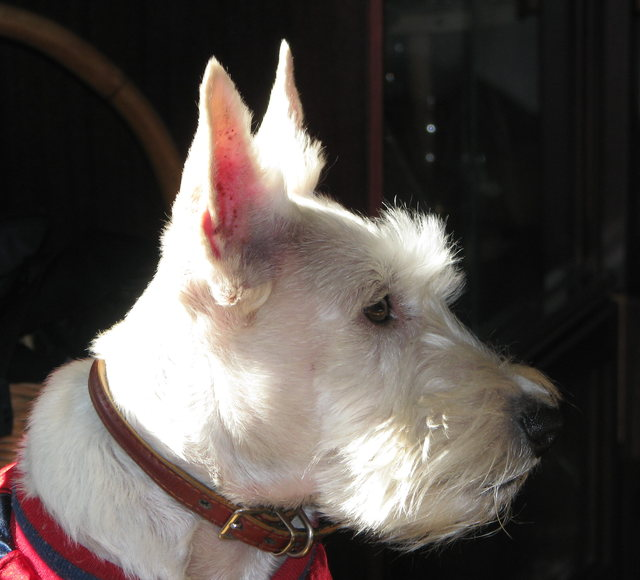 scottish-terrier001