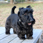 scottish-terrier002