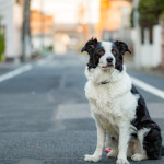 border-collie001