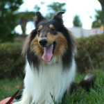 roughcollie004