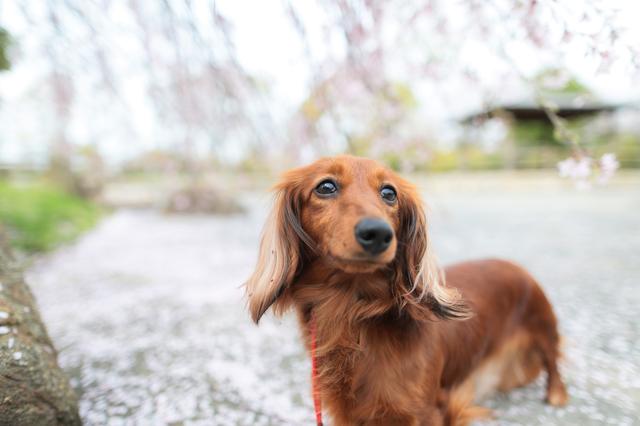 dachshund005