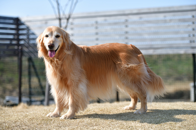 golden-retriever001