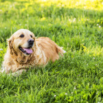 golden-retriever004