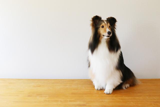 shetland-sheepdog004