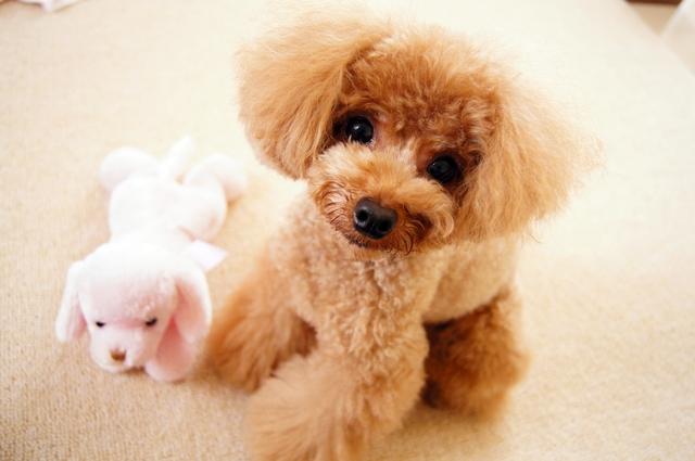ティーカッププードルの成犬時の大きさはどれぐらい?性格、販売価格、寿命は?