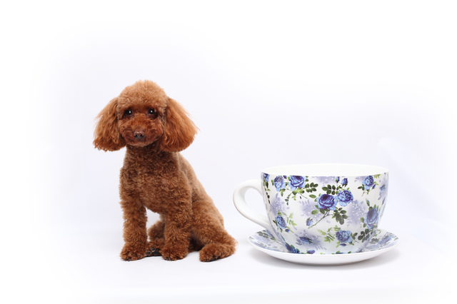 teacup-poodle005