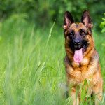 German shepherd dog sitting in the grass