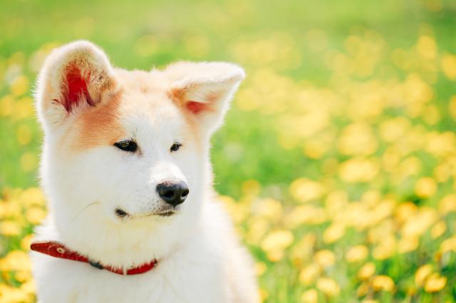 Close up of Akita Dog or Akita Inu, Japanese Akita Puppy Sitting